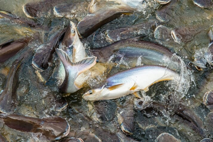 Catfish are one of Vietnam's key aquaculture exports