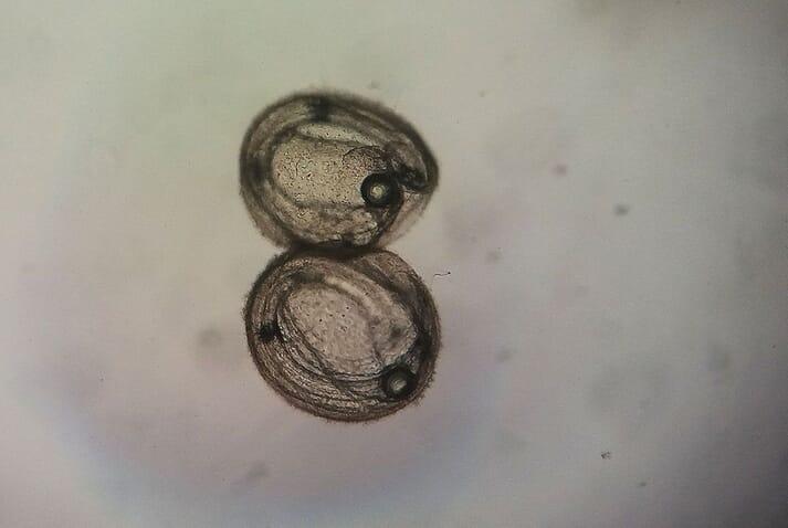 Malapterus reticulatus embryo 48 hours post-fertilisation