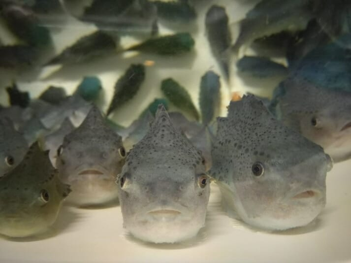 It's important to improve the efficacy of cleaner fish species such as lumpfish