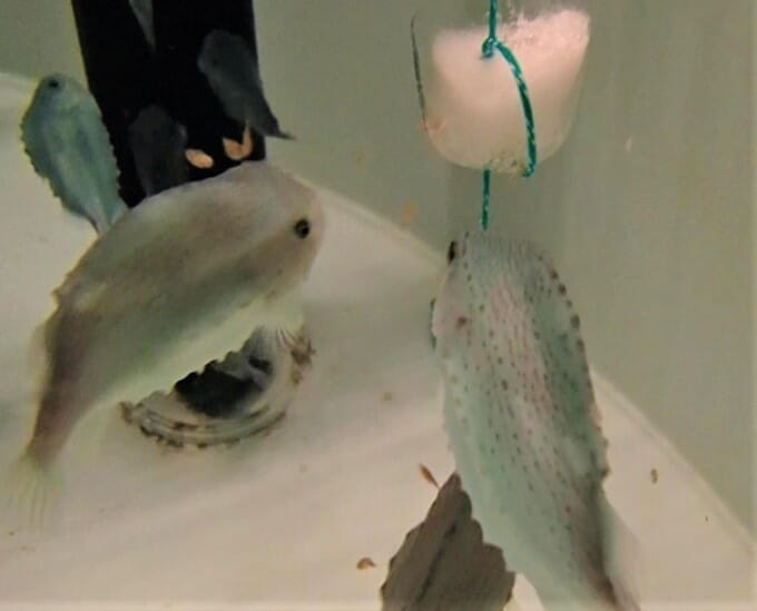 Lumpfish eating a block made from frozen sea lice, which was shown to help improve their performance as cleanerfish when released into marine pens with salmon