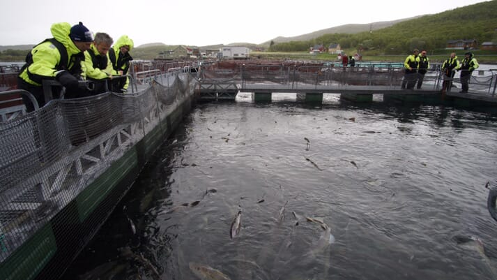 Sixth generation cod have adapted to life in fish pens
