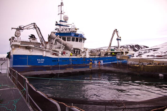 Cod being transferred from a trawler to a live storage facility