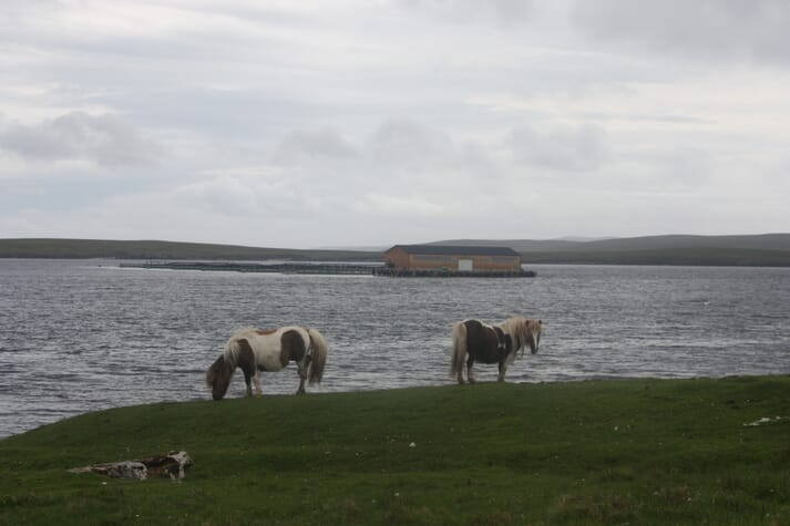 Shetland ponies on the island of Unst, with a salmon farm in the background.