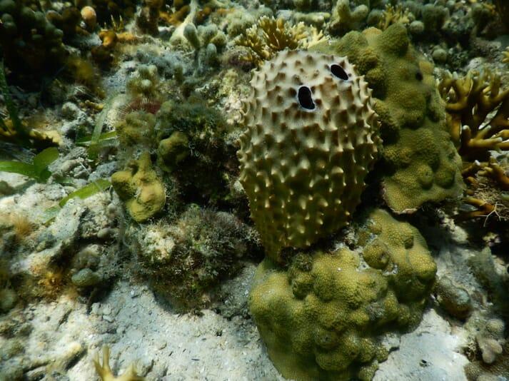 An exotic variety of coral reef sponge at Bocas Del Toro, Panama.