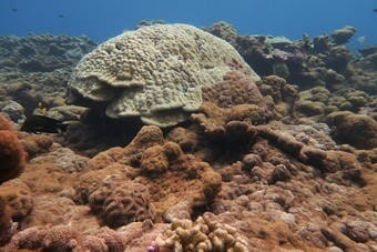 The impact of corallimorphs on coral reefs can be mitigated by the removal of shipwrecks an the use of chlorine