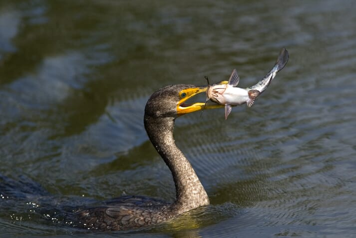 Cormorants are seen as posing a threat to a number of vulnerable fish species
