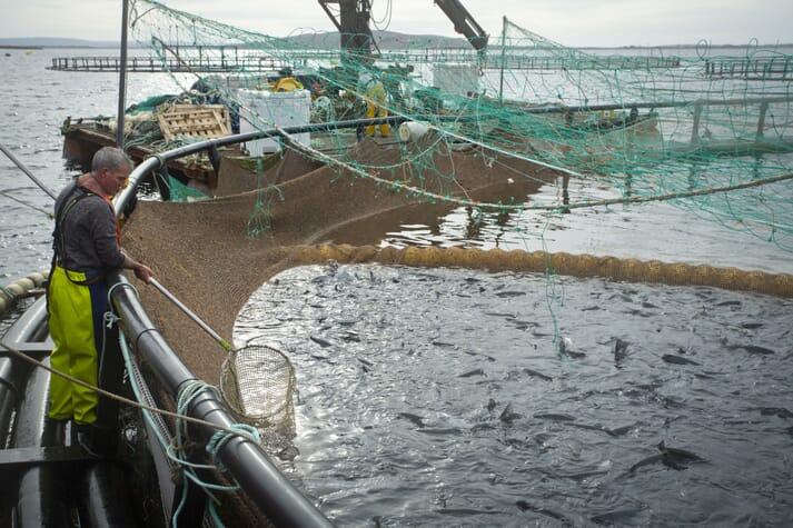 The Irish salmon sector's output fell by 39 percent between 2017 and 2018