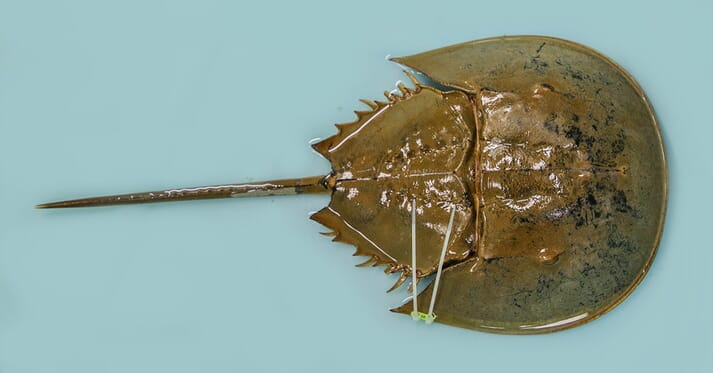 A captive horseshoe crab
