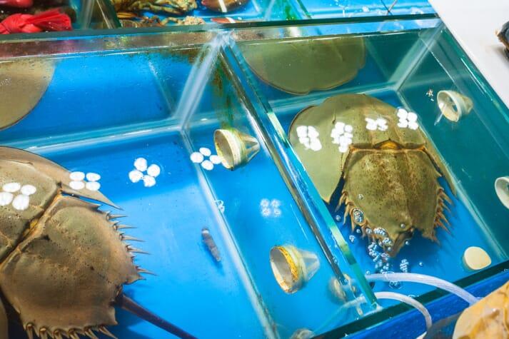 Horseshoe crabs in tanks