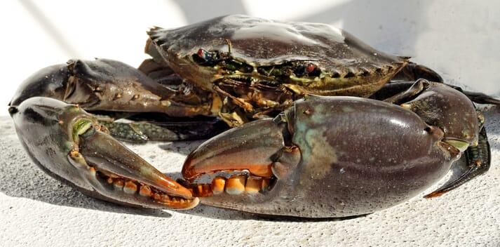 Brown mud crab