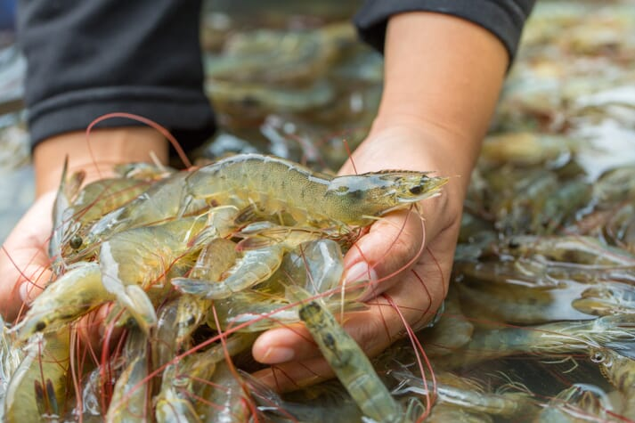 Using an electric stunner is deemed more humane than immersing shrimp in ice slurry, which is the conventional method for shrimp slaughter
