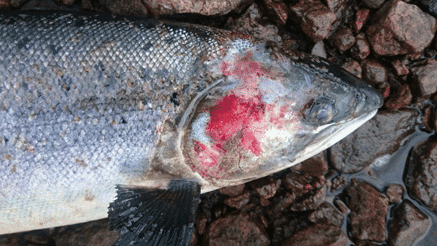 An image of a dead wild salmon found near the mouth of the Blackwater, with lesions suggesting severe damage by sea lice