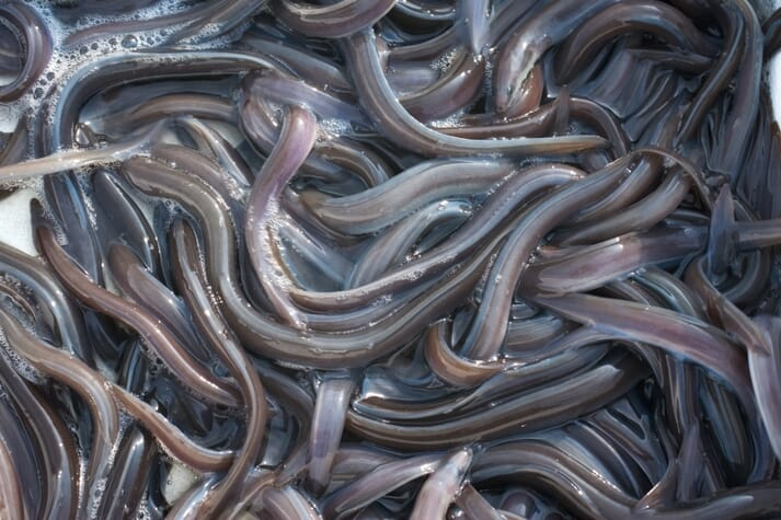 Paul Coulson's book covers all the latest research into eels