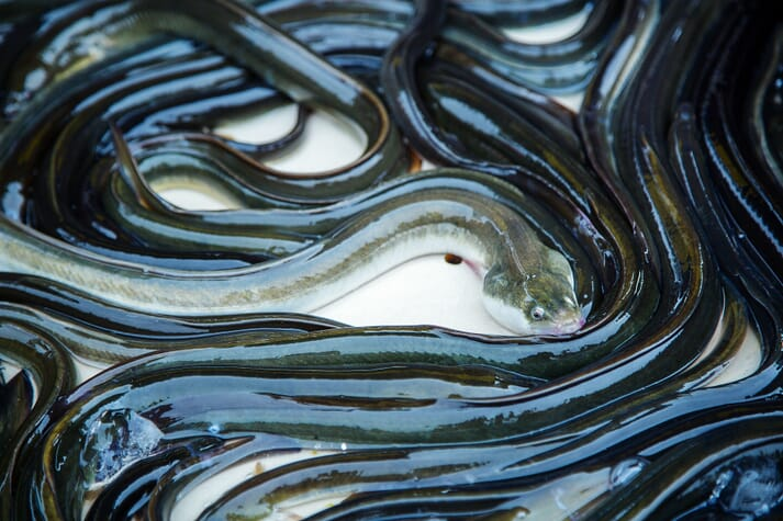 Eel landings have fallen dramatically in Europe, with factors such as loss of habitat shouldering much of the blame