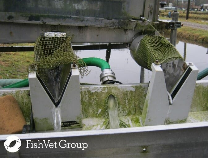 Accumulation of waste feed and organic debris in a fish grader. Some bacterial fish pathogens form biofilms on aquaculture substrates, which resist the effect of antibiotics and water disinfectants and are potential source of infections to the fish population. Periodical removal is essential to minimise the bacterial load.