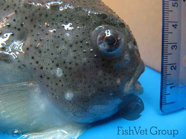 T. brevifilum visible as white flocculent material within external cysts and in the eye of this infected lumpfish