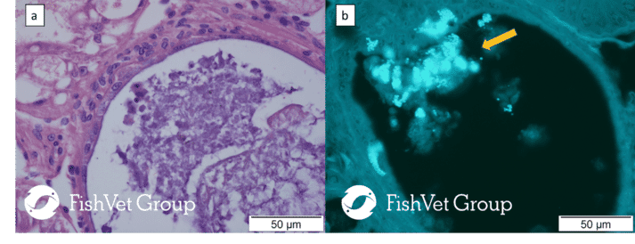 Figure 2. Semi serial sections of hepatopancreas of Penaeus vannamei infected with Enterocytozoon hepatopenaei. (a) H&E (b) Calcofluor White stain both showing E. hepatopenaei spores (arrow). Bar: 50 µm.