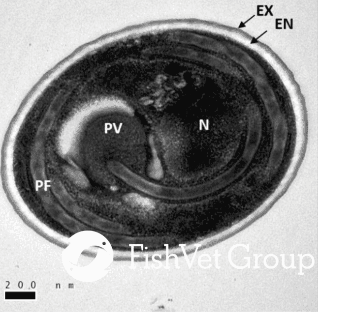 Figure 1. Transmission electron microscopy of a transverse section of a microsporidian spore with the nucleus (n), polar filament (PF), thick electron lucent endospore wall (EN) surrounded by a thinner electron dense exospore layer (EX), posterior vacuole (PV) and polaroplast (PP). Scale bar 200 nm.   ​