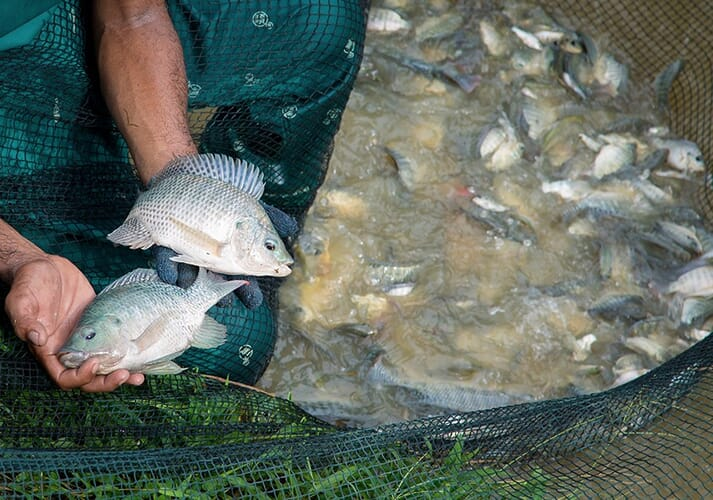 The GIFT strain of Nile tilapia was developed by WorldFish