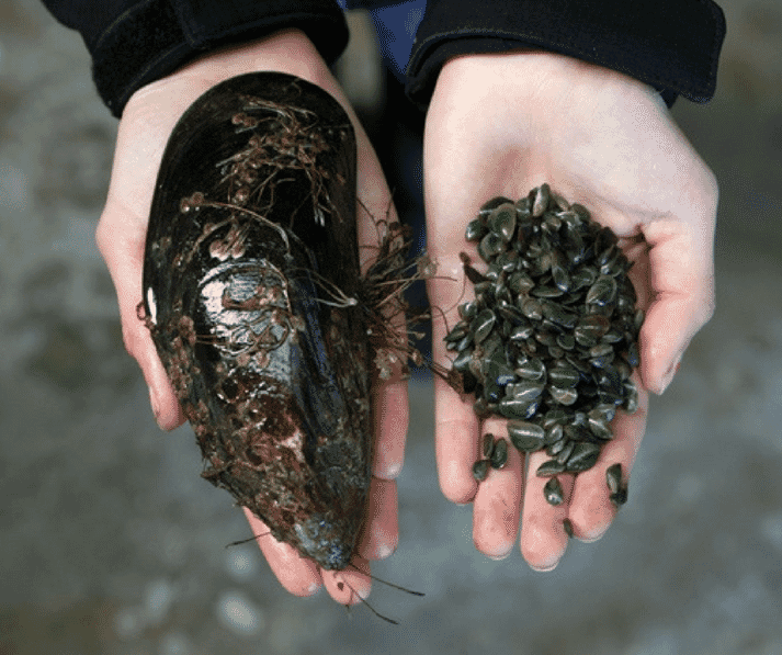 Greenshell mussels, parents and spat
