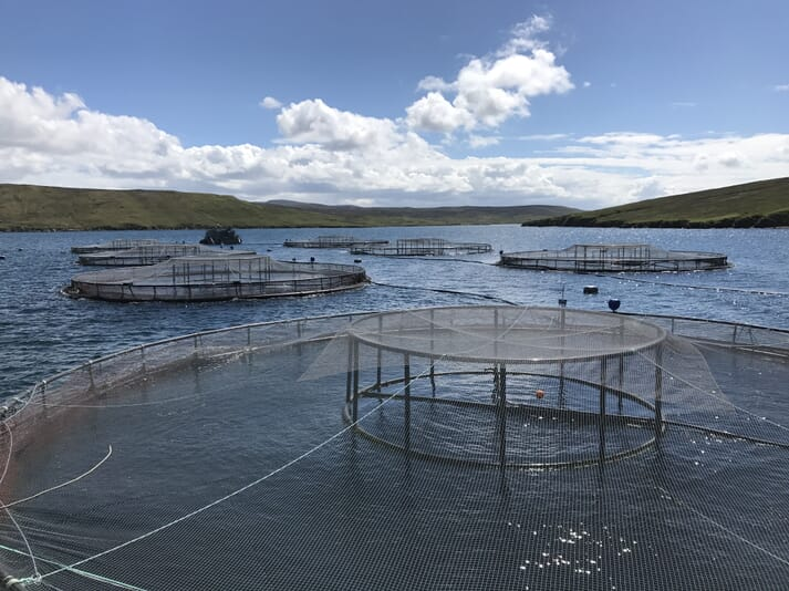 Cleanerfish have proved very effective at reducing lice levels at a number of Grieg Seafood Shetland's salmon sites.