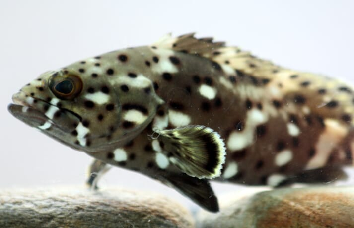 The shift from wild-capture to culture of grouper species is beginning to gain impressive momentum