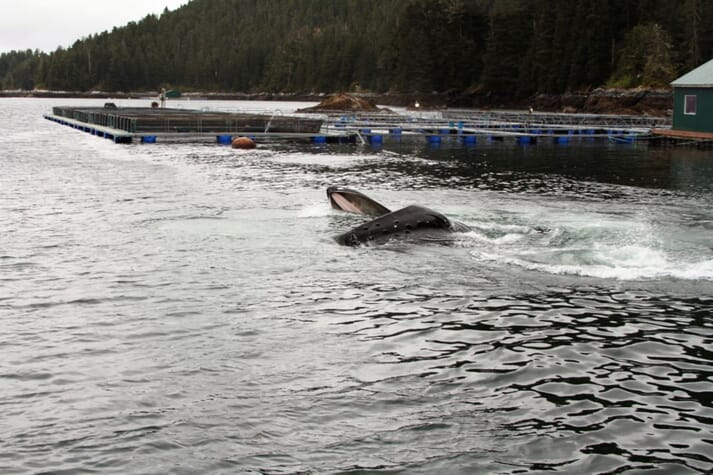 Humpback whales feeding near saltwater holding pens for salmon smolts after a release in May 2014.