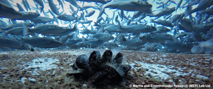 Mussels on the ocean floor with fish swimming above them
