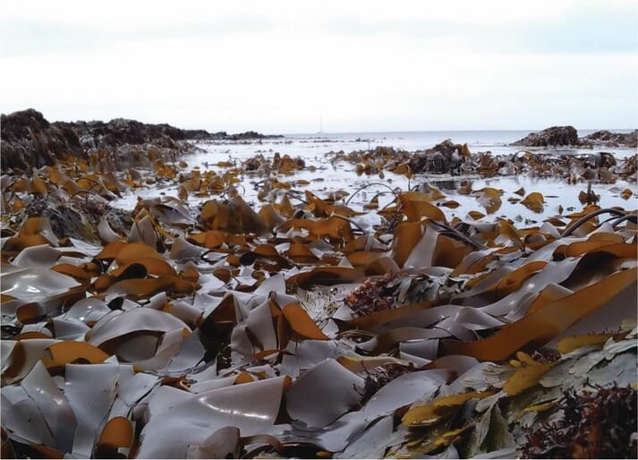 A kelp forest at low tide, near Plymouth.