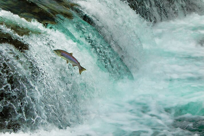 Salmon aquaculture is one of 12 factors identified by Scottish Government as putting pressure on wild salmon stocks