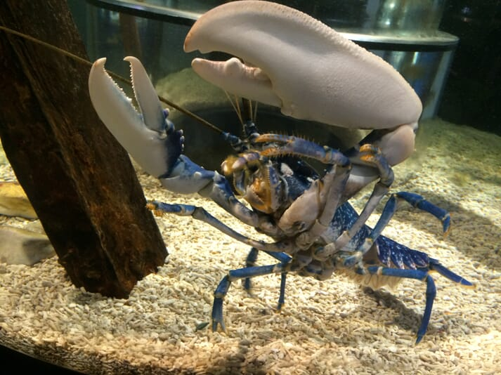 The aquarium breeds and releases lobsters back into the wild to help boost the local populations of the prized crustaceans