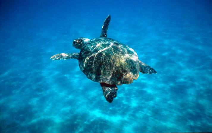 The report estimates that 29,000 turtles, such as this loggerhead, are killed in the capture of prawns destined for EU markets.