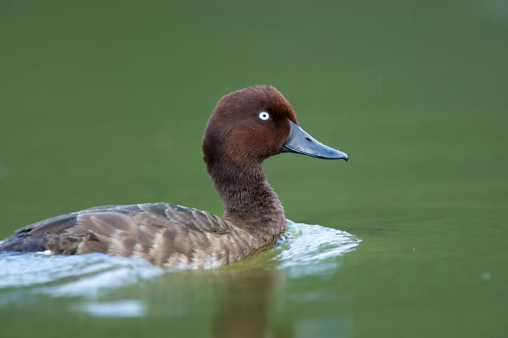 Only 30 Madagascar pochard are left in the wild.