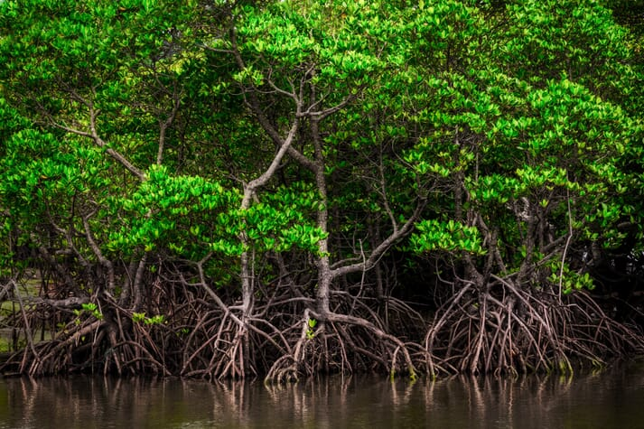Mangrove forest with visible roots above the water