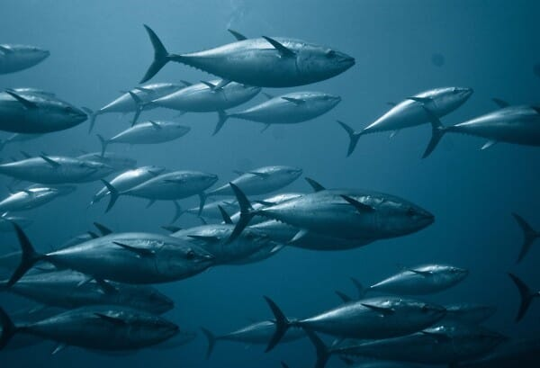 School of tuna swimming through open water