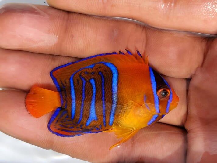 An angelfish produced by Bali Aquarich