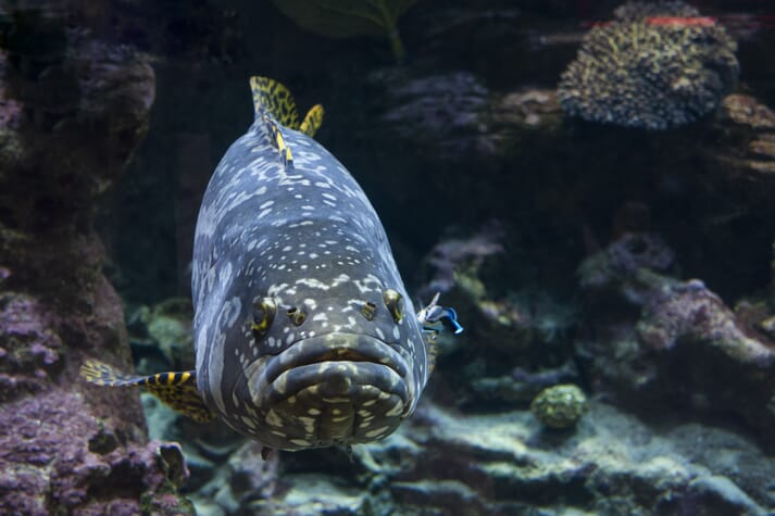 Giant grouper swimming near coral reef