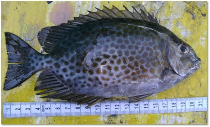 Rabbitfish fed high protein feeds nearly doubled their growth rates