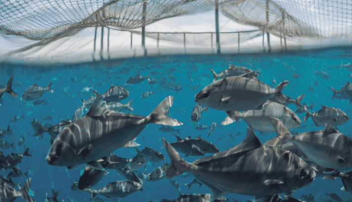 Amberjack are an ideal candidate for EU aquaculture producers