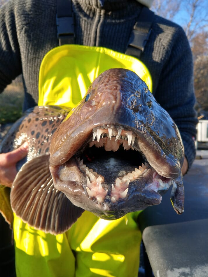 Aminor AS is currently the only commercial wolf fish producer in the world