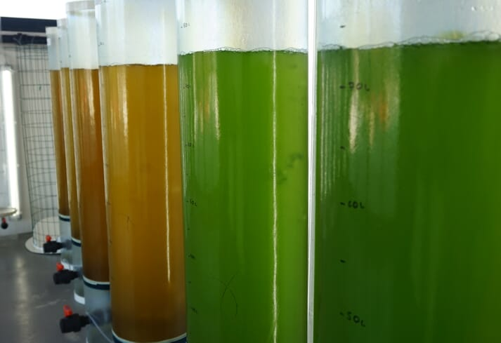 Microalgae can be a valuable source of omega-3 oils
