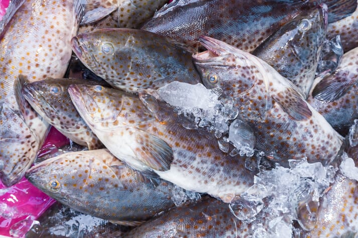Orange-spotted grouper are a valuable and popular fish in the UAE