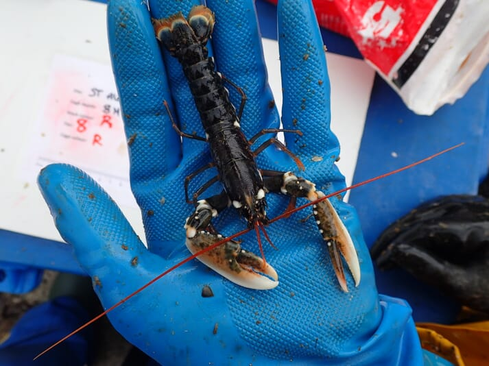 The project is going to investigate whether there's a market for relatively small lobsters