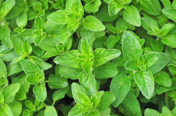 Origanum vulgare (oregano) had the most effective antibacterial activity - substantially better than the antibiotic tetracycline