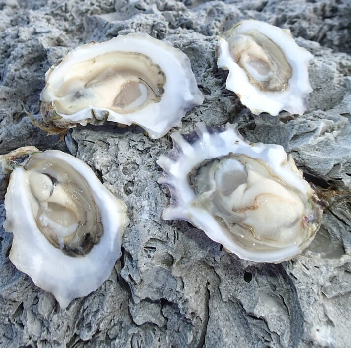 The project aims to improve the growth rates, flesh quality and disease-resistance of the eastern oyster (Crassostrea virginica)