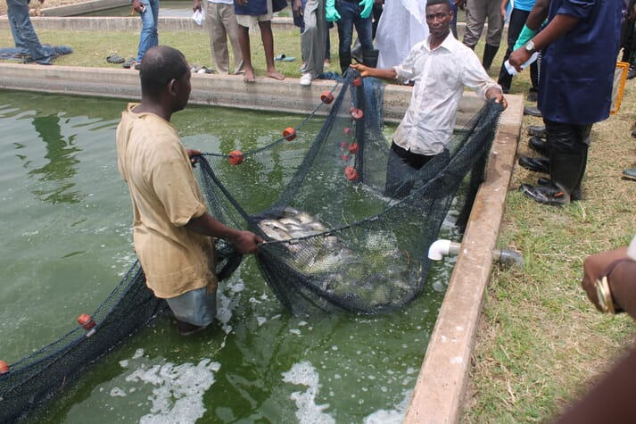 Tilapia make up 80% of Ghana's aquaculture production, with the remainder being accounted for by catfish.
