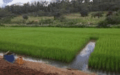 Cultivating fish in rice paddies increases rice production as well as generating an additional source of food and income