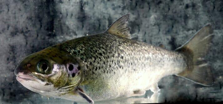 An Atlantic salmon in a tank