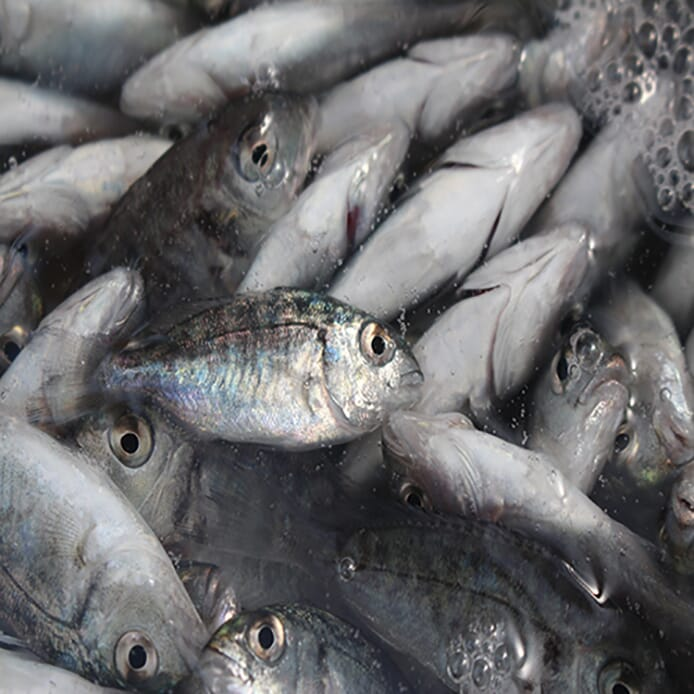 The company aims to produce 50 million seabass and sea bream fry a year