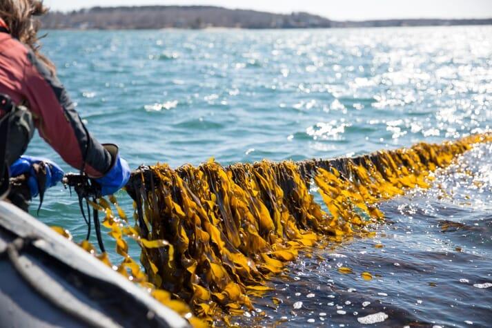 Harvesting rope-grown kelp off the Maine coast